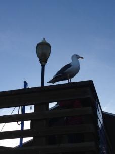 pássaro alcatraz
